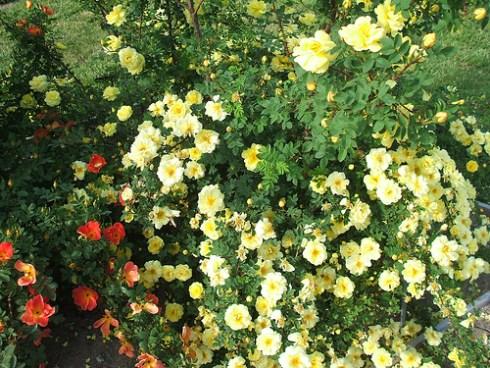 Southern gardening lady bankss rose mightylinksfo